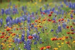 Texas-Wildflowers-at-BRIT_REV